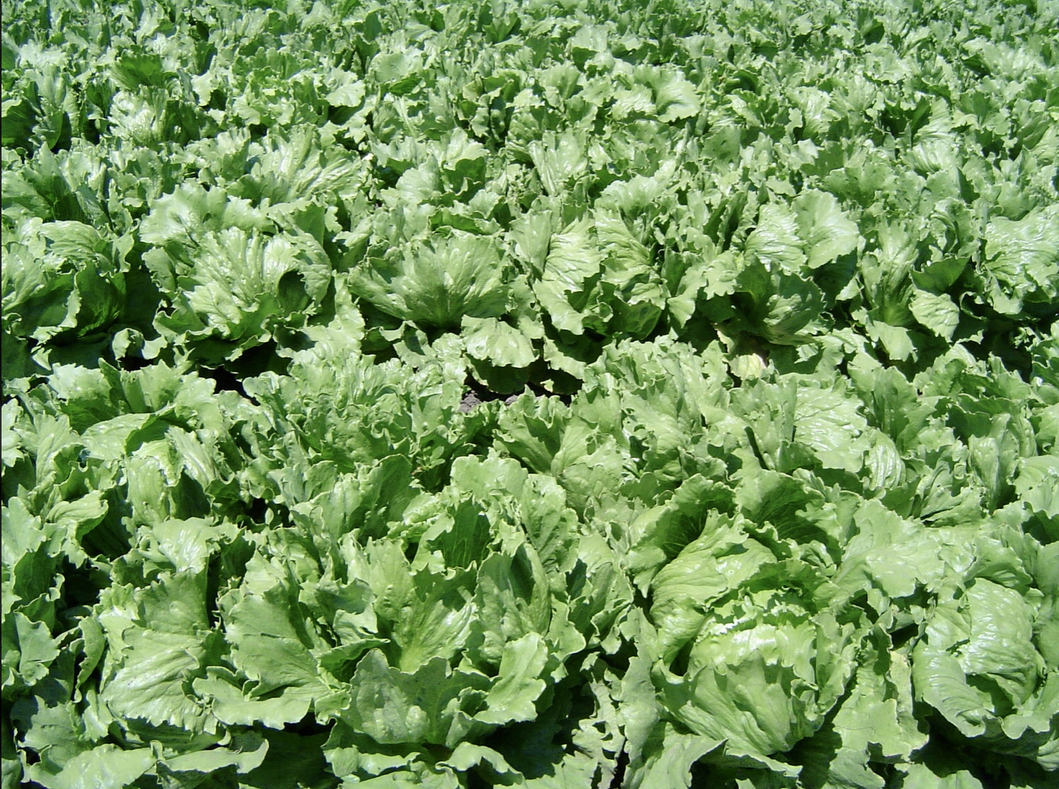 A field of iceberg lettuce