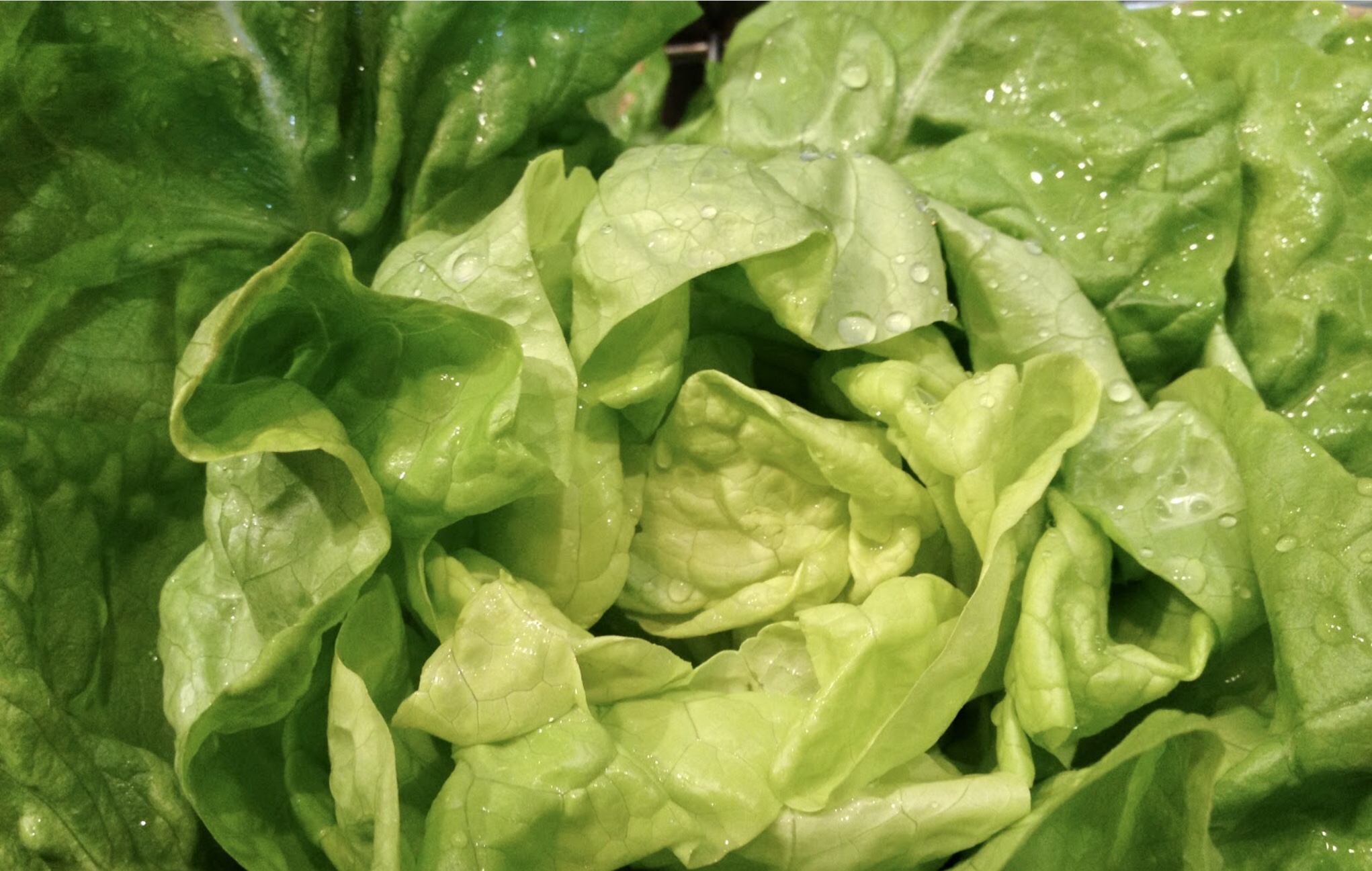 Butterhead Lettuce, AKA Butter, Boston, or Bibb